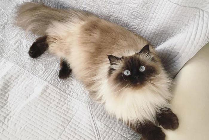 Cualidades del gato himalayo