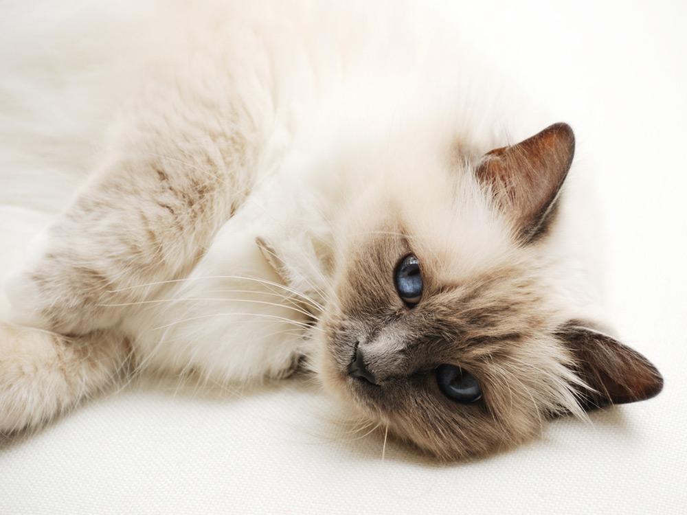 Gato Himalayo siames acostado