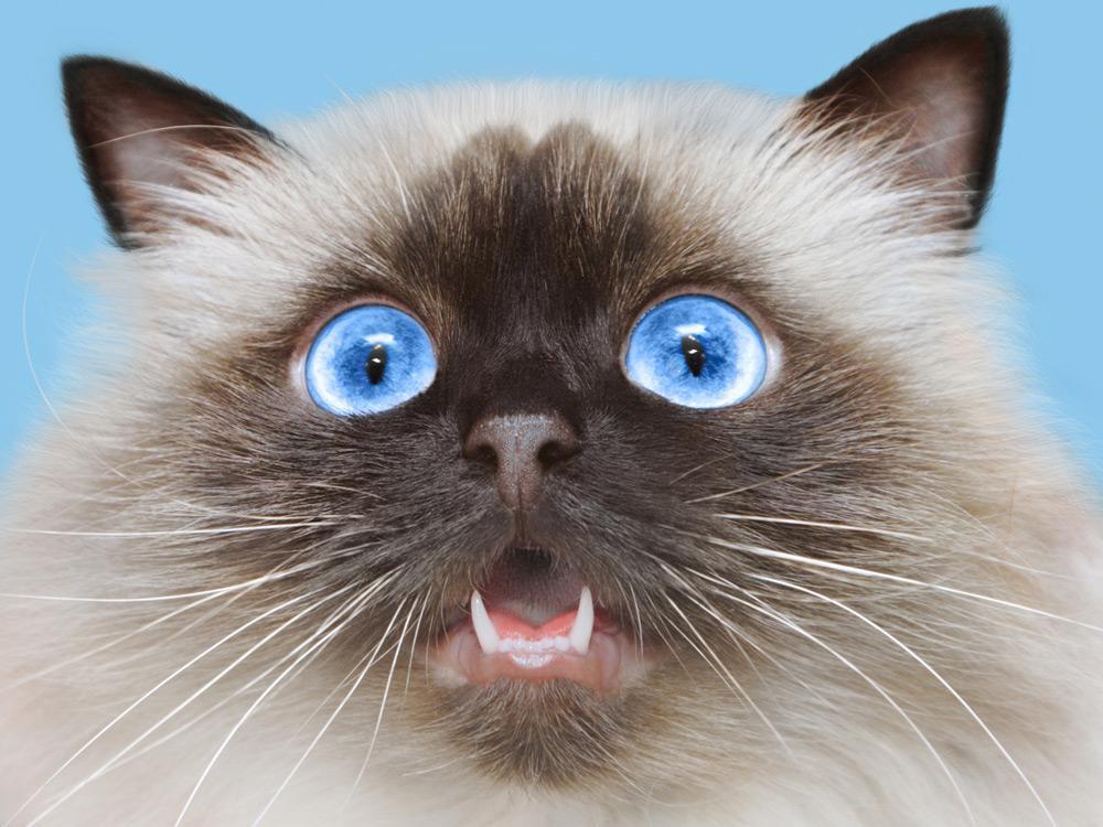 Gato Himalaya ojos azules