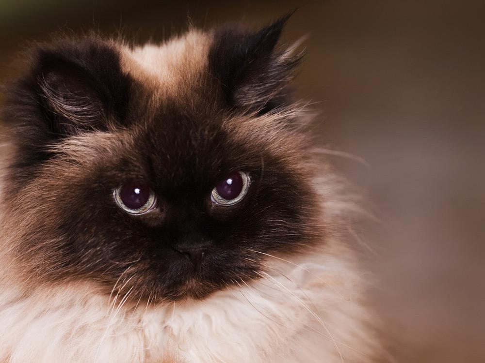 Cara de Gato Himalayo