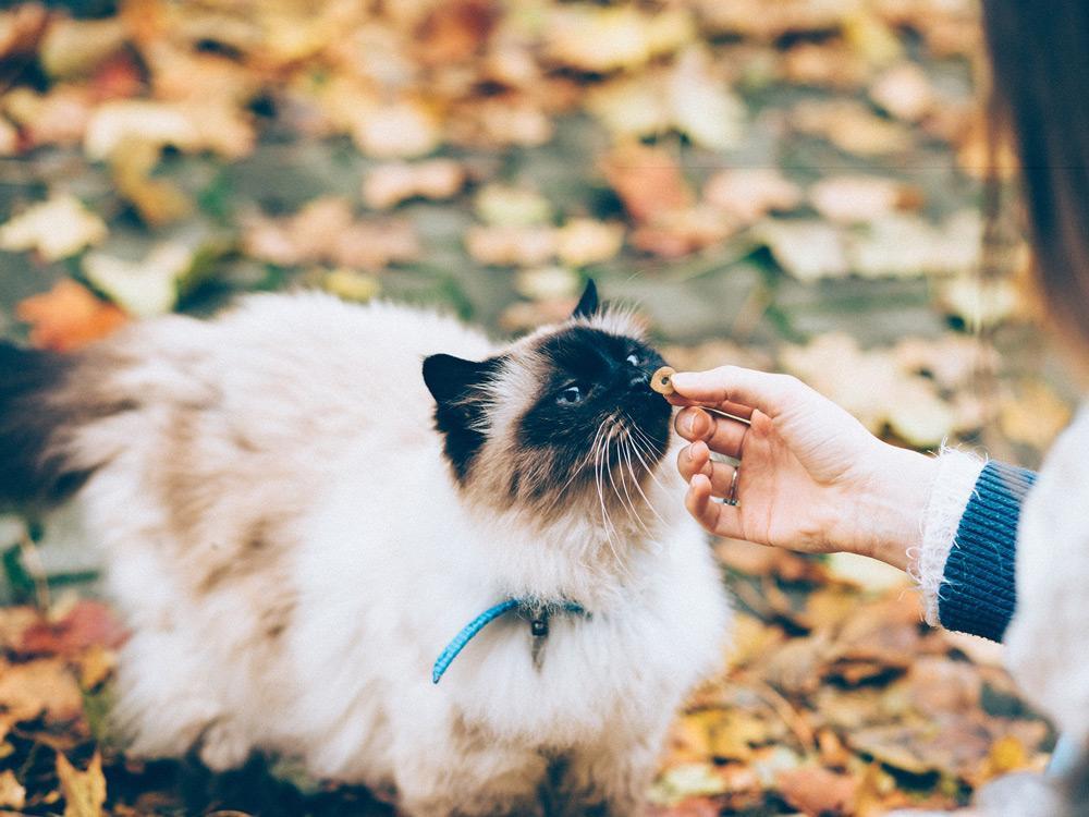 Gato Himalayo comiendo