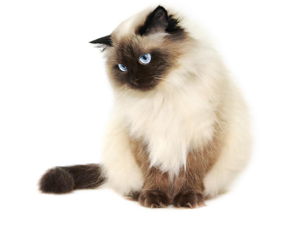 Gato Himalaya