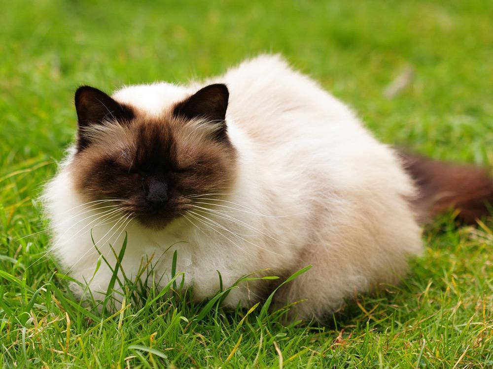 Gato Himalayo en la grama