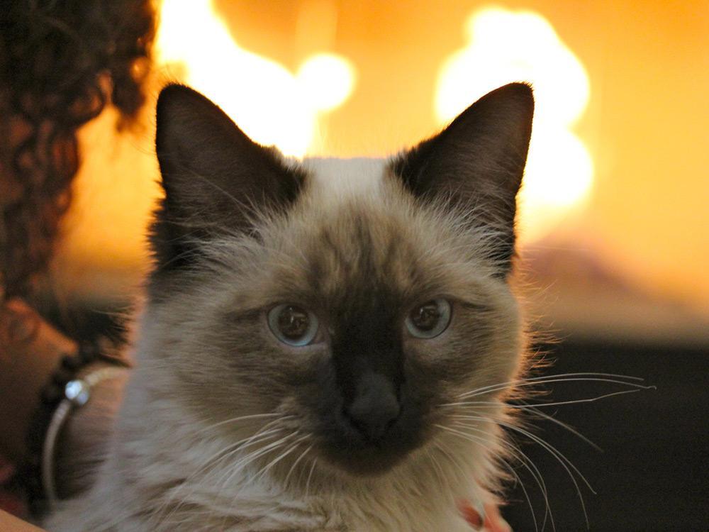 Gato Himalayo atento