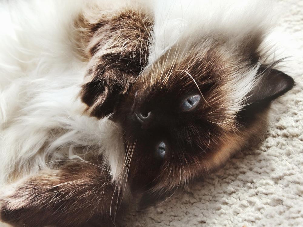 Gato Himalayo Acostado