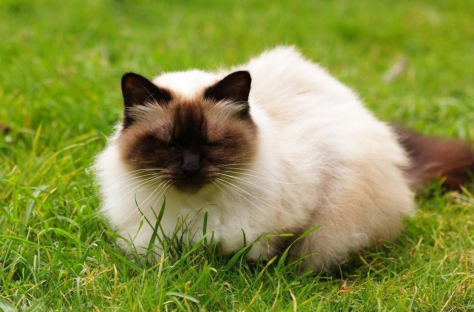 colores del gato himalayo