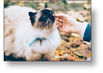 gato himalayo siendo acariciado