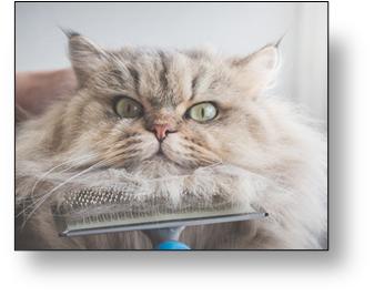 cuanto vive un gato himalayo