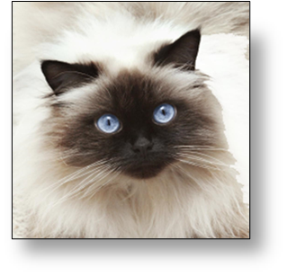 gato persa himalayo comprar o adoptar